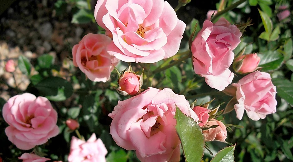 pink roses bloom because life goes on after death and having one of the 3 most popular types of life insurance helps