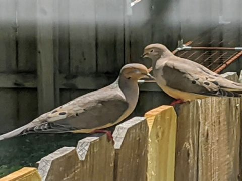view of two mourning doves sitting a a fence is noticed while social distancing increases social isolation